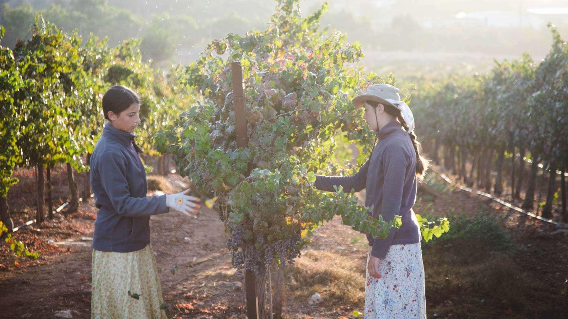 Grape Harvest from HaYovel